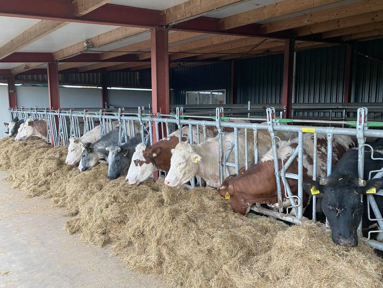 Gezonde koeien in de stal | Mensen Vleesvee | Boerderijwinkel 't Bergje